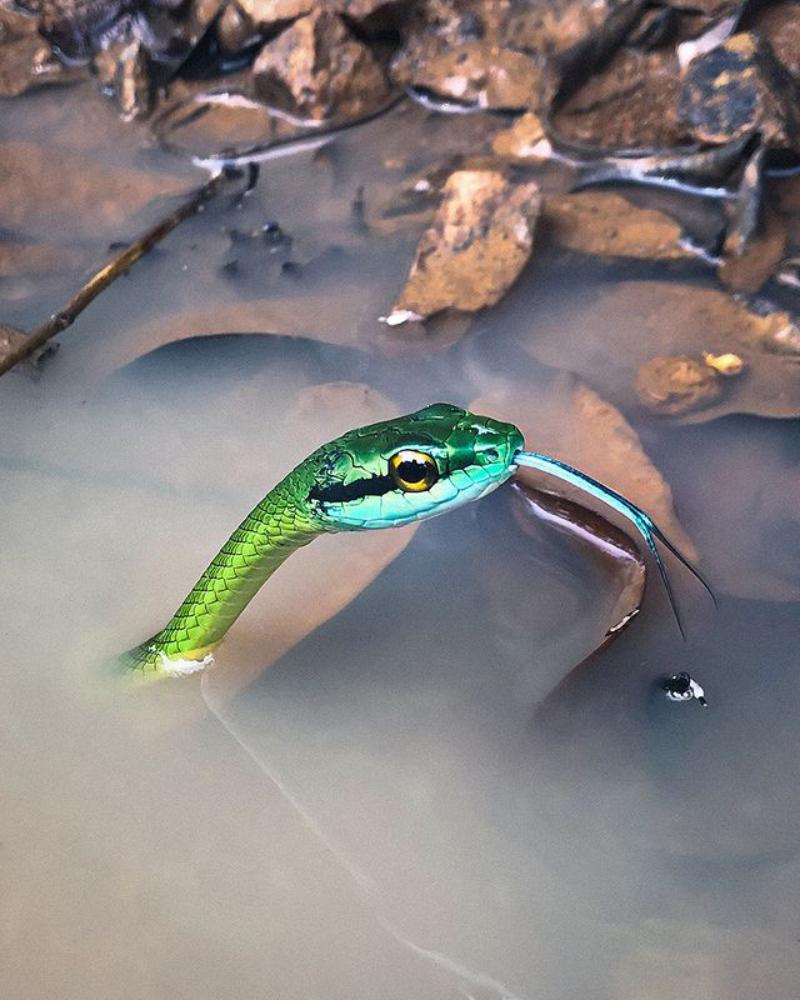 Foto ular keren warna hijau dengan Hape KAmera