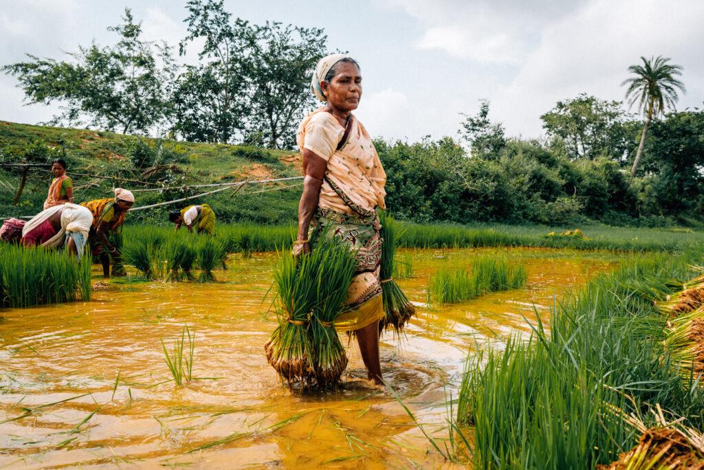 Foto Ibu tua yang sednag memanem padi di sawah